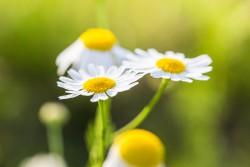 wonderful-daisies-with-bright-background-picjumbo-com